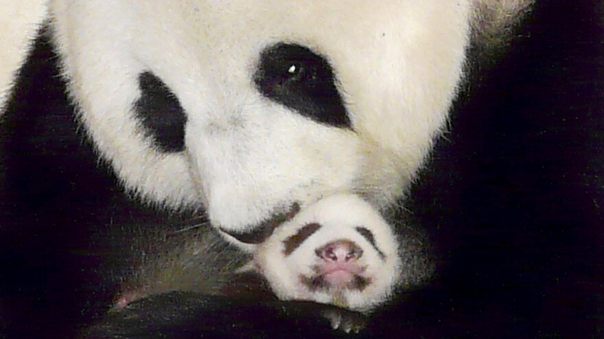 The giant panda Lin Ping, a star in Thailand whose mandatory trip to China was due at the end of May, can spend up to 15 years in Thailand, under a deal announced this week. The 43-day-old Lin Ping was held by her mother, Lin Hui, in this  2009 photo.