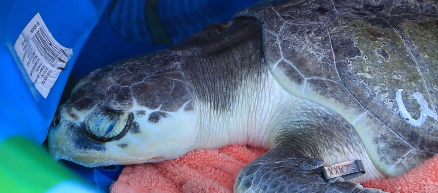 Weezer, one of the rehabilitated Kemp's Ridley sea turtles, returns to the wild.