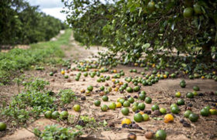 Regional crop losses in the citrus industry vary from 40 percent to 100 percent, according to Florida Agriculture Commissioner Adam Putnam.