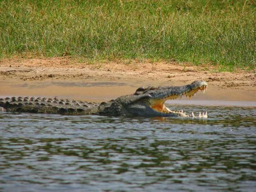 nile-crocodile-via-wikimedia-commons1.jpg