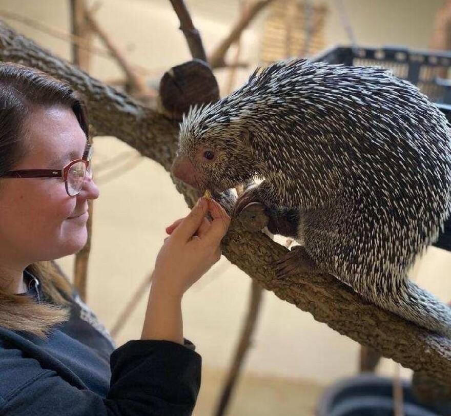 Bolerjack has been working at the Cincinnati Zoo for five years. She says she loves feeding Rico the porcupine — and she's never gotten poked.