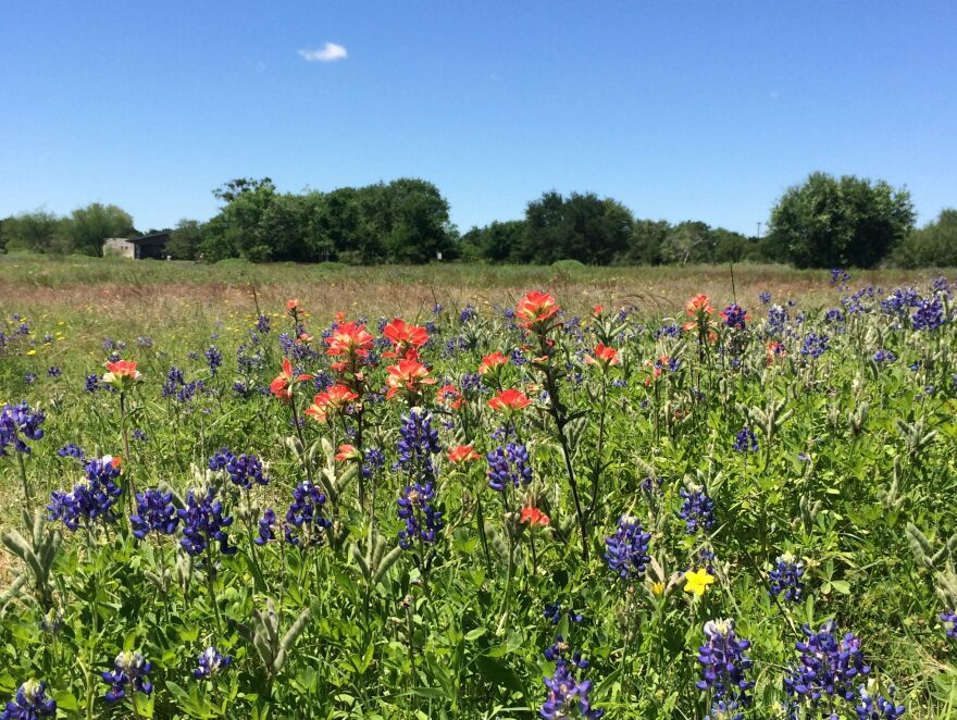 Texas bluebonnets and Indian paintbrush.