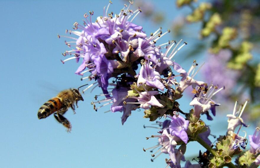 honeybee_at_butterfly_bush__17193579_.jpg