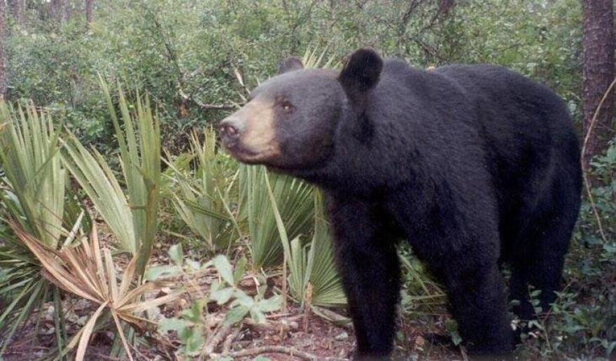 florida_black_bear.jpg