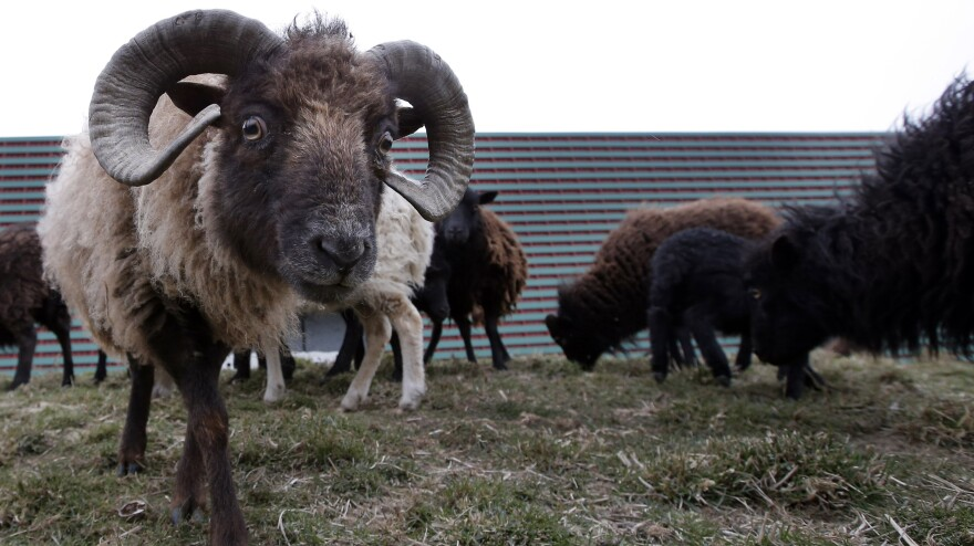 Sheep used to replace gas-guzzling lawn mowers graze at a truck warehouse at Evry, south of Paris.