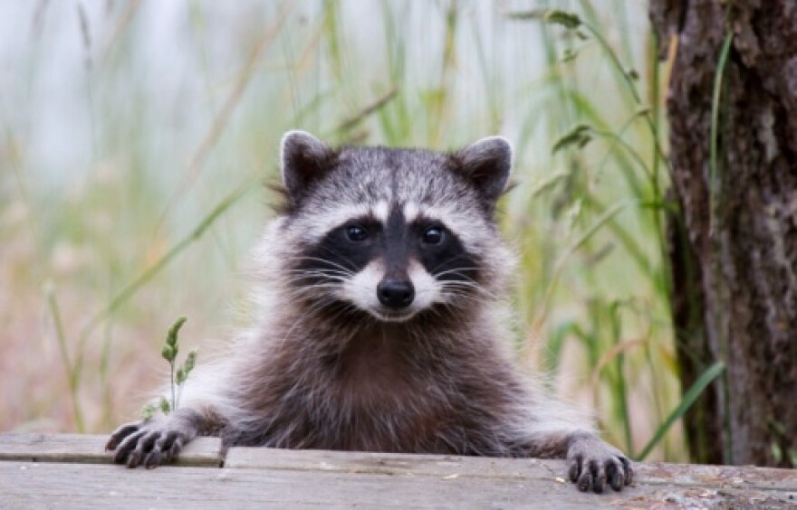raccoon_fairfield_county_health_department.jpg