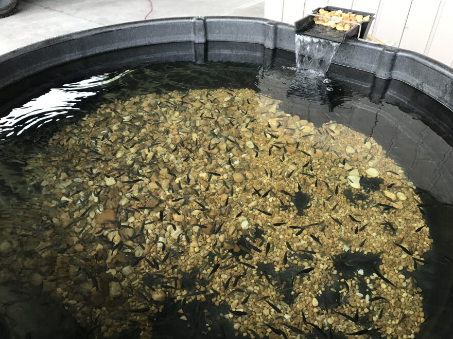 A pool of mosquito fish. They don't lay eggs and require no special environment for breeding.