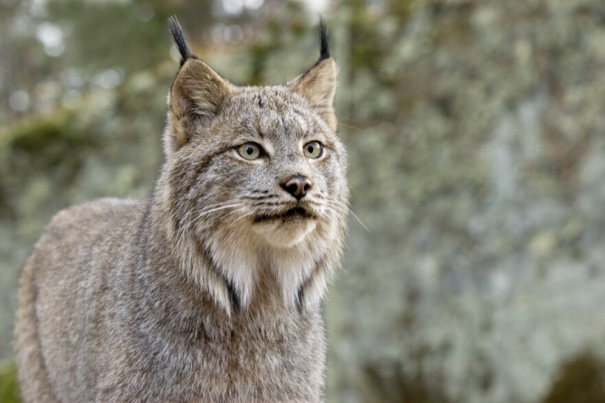 A Canadian lynx in northern Minnesota.