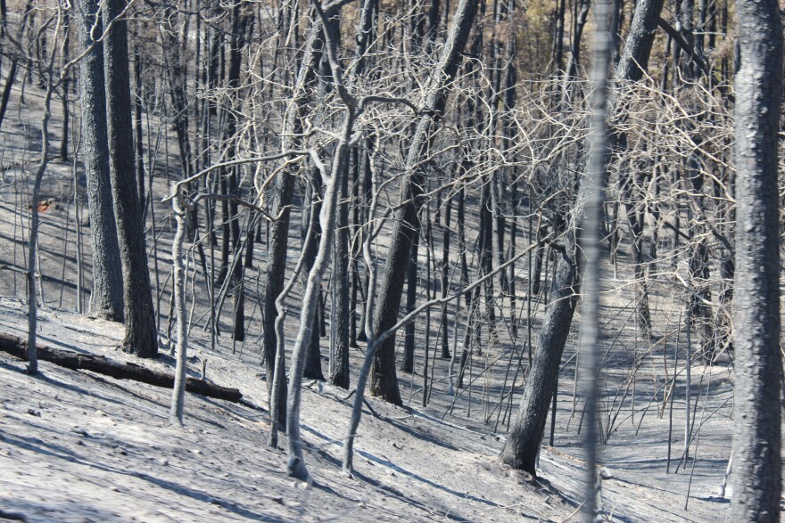 An ashen forest after the Bastrop Complex fire.