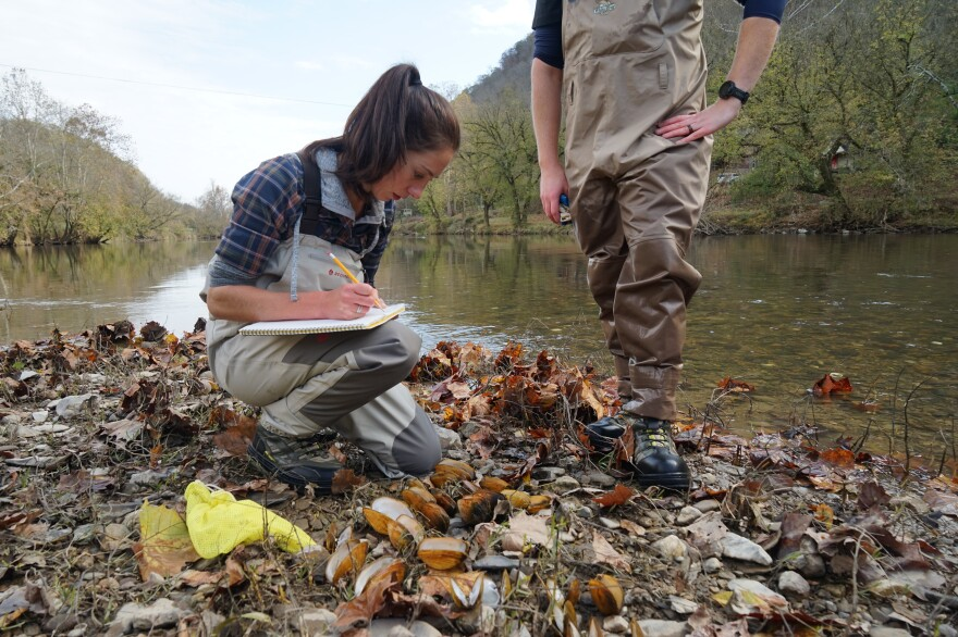 Agbalog documents the number and types of dead mussel species she finds during a brief survey on the Clinch River. On particularly bad days, hundreds of shells line the banks.