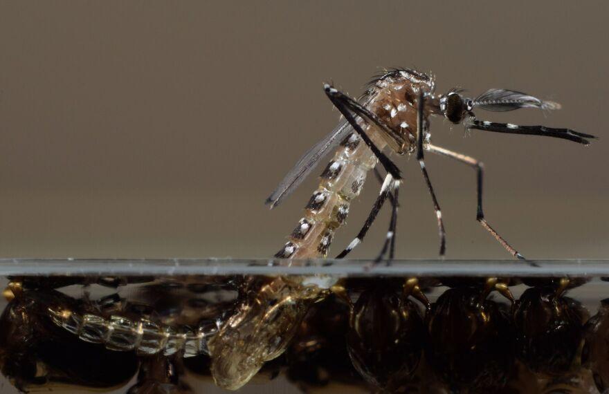zika_mosquito_-_oxitec.jpg