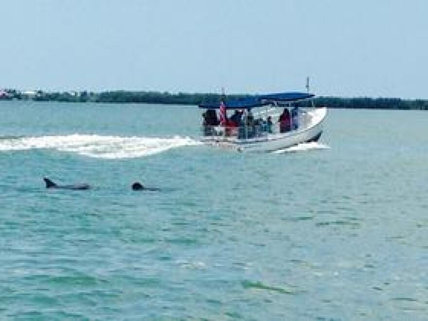 "These Bottle Nose Dolphins are following  the wake of ""Stars and Stripes,"" a tour that launches out of the Sanibel Marina. The company's manager, Thomas McColgan, said, ""The vessel makes a wake that Dolphins will occasionally swim behind and people enjoy that."""