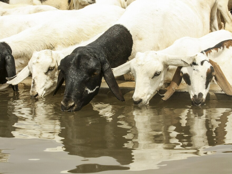 Drink as much water as you want, goats — just don't eat the soap!
