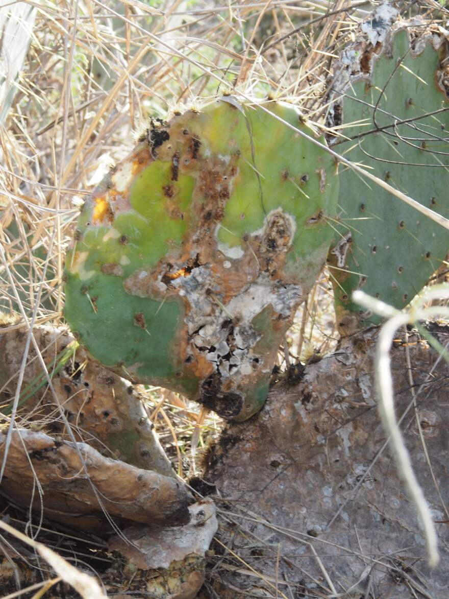 A prickly pear cactus pad heavily infested with cactus moth larvae. The orange goo coming out of the holes in the pads is poop from the larvae. This type of damage is indicative of cactus moth infestation.