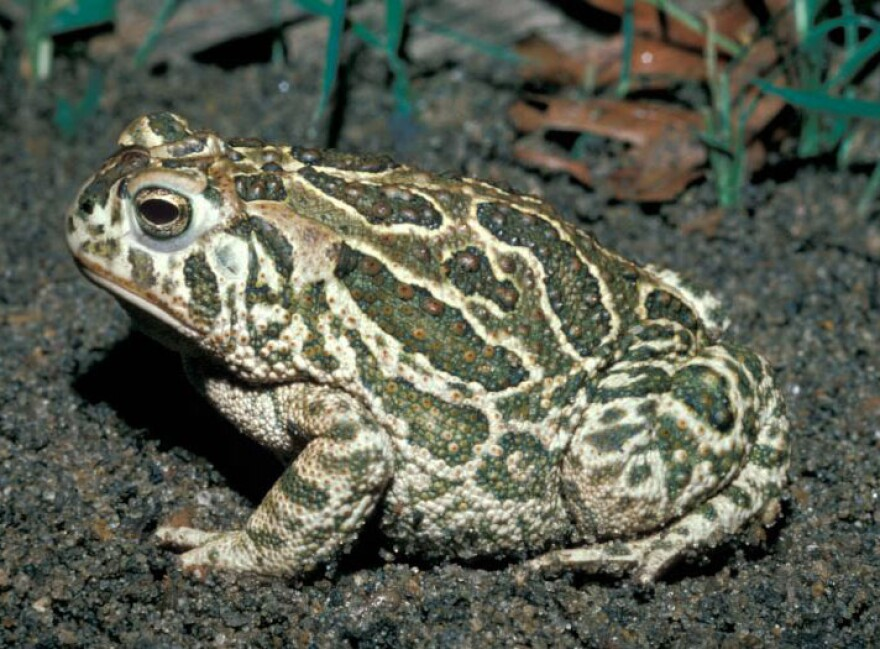 A Great Plains toad. Missouri Department of Conservation biologists collected hundreds of the rare species in the Missouri River floodplain so they could measure and weigh them.