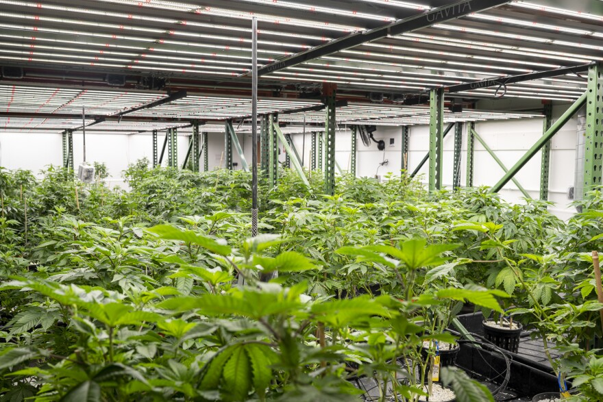 BeLeaf Medical uses an LED lighting system designed specifically for growing cannabis during cultivation.