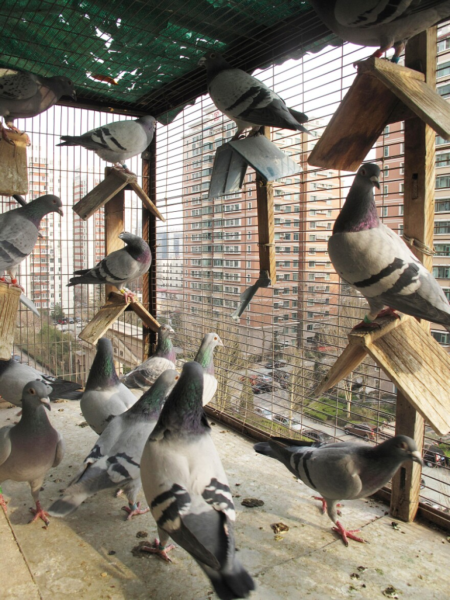 These pigeons belong to Yang Shibo, who breeds them in an enclosed balcony on the 13th floor of a Beijing apartment building. His best bird cost him $1,000; its descendants have earned him $150,000 in prize money.
