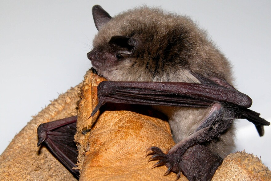 A little brown bat or little brown myotis (Myotis lucifugus) .