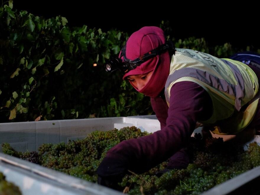 wine field worker CapRadio Scott Rodd.jpg
