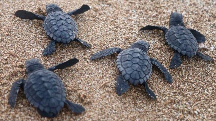 Sea turtle hatchlings make their way to the water last month at Al-Mansouri Beach in Lebanon, which is reporting a flourishing turtle population.