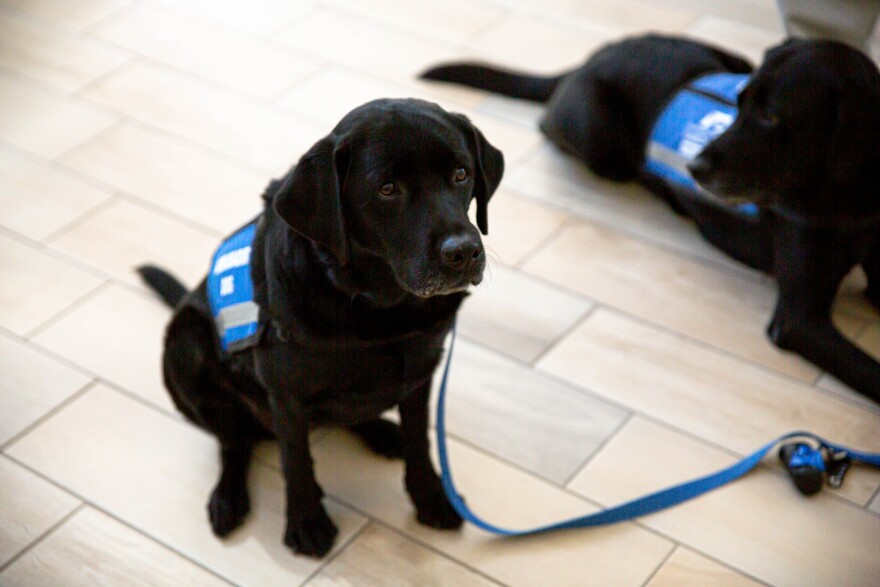 Service dog in training sits on floor, leash to the side.