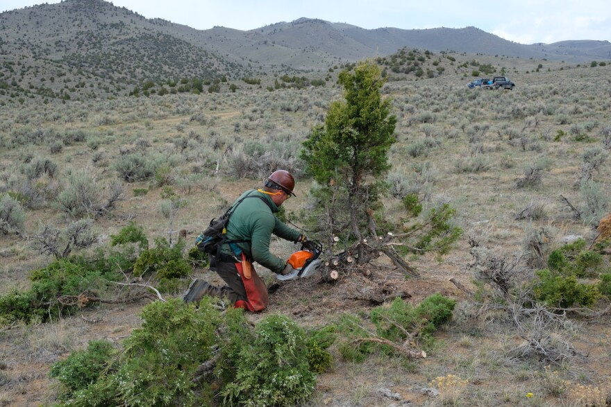 Justin Hartman uses a chainsaw to cut down a juniper expanding into sagebrush habitat near Dillon, Montana, May 12, 2020.