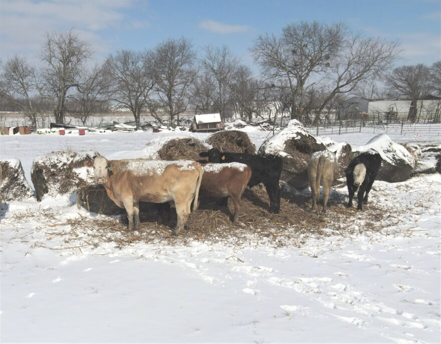Several cows stand on snow-covered ground as they feed on bales of hay.