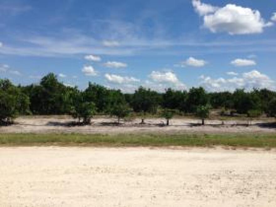 An orange grove near Fort Myers.