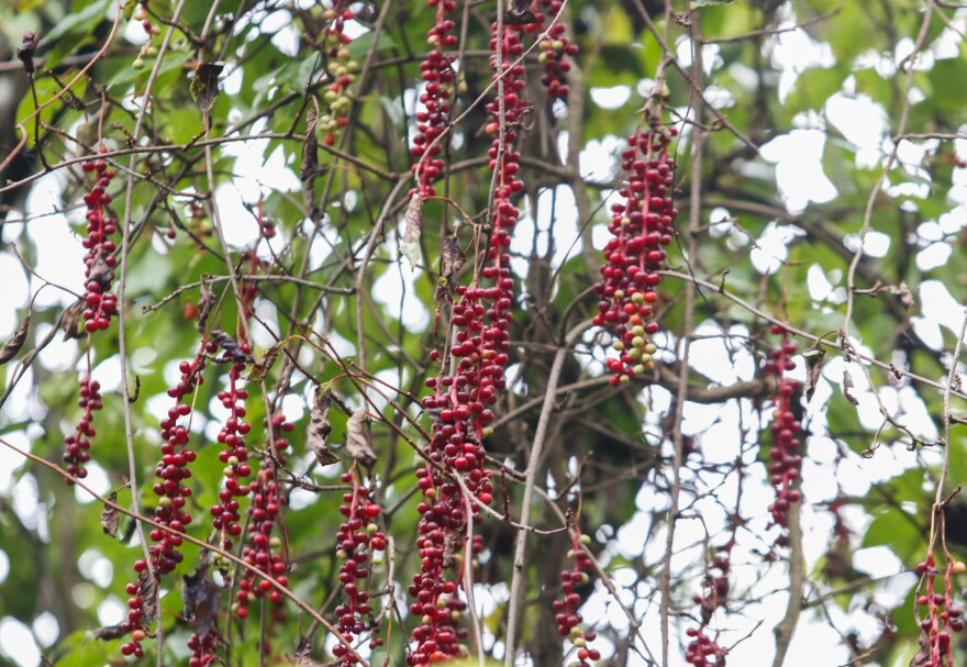 Local schisandra pickers in the Upper Yangtze have been trained to gather berries only from the lower two-thirds of the vine, leaving the rest for birds and wildlife that would spread the seeds through the forest.