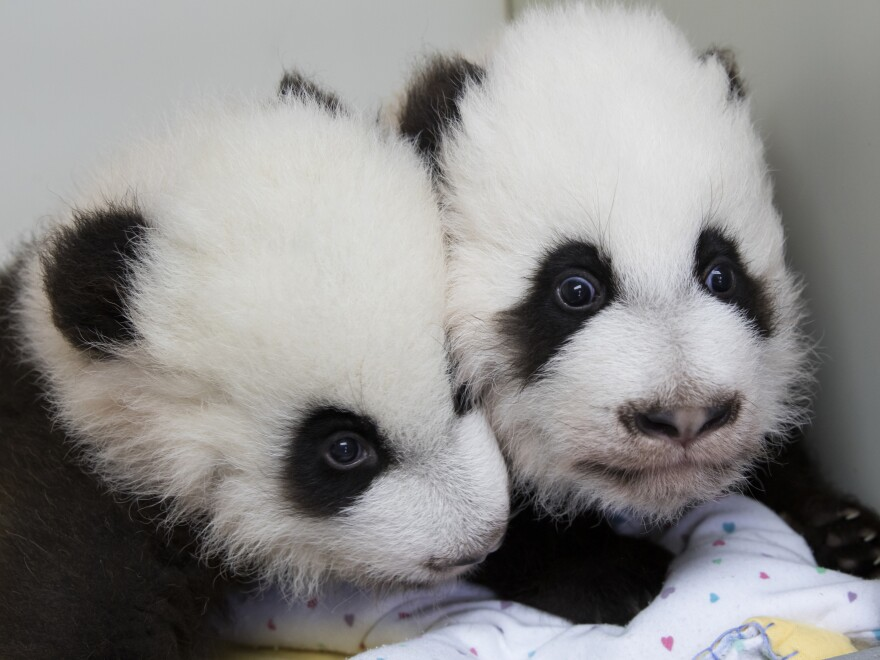 A photo provided by Zoo Atlanta shows giant panda twins Ya Lun (left) and Xi Lun on Dec. 9.
