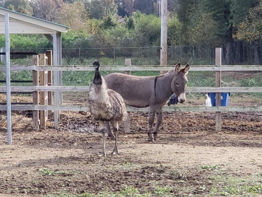 "An emu and a donkey, seen here at a North Carolina animal shelter, have reportedly ""fallen in love."""
