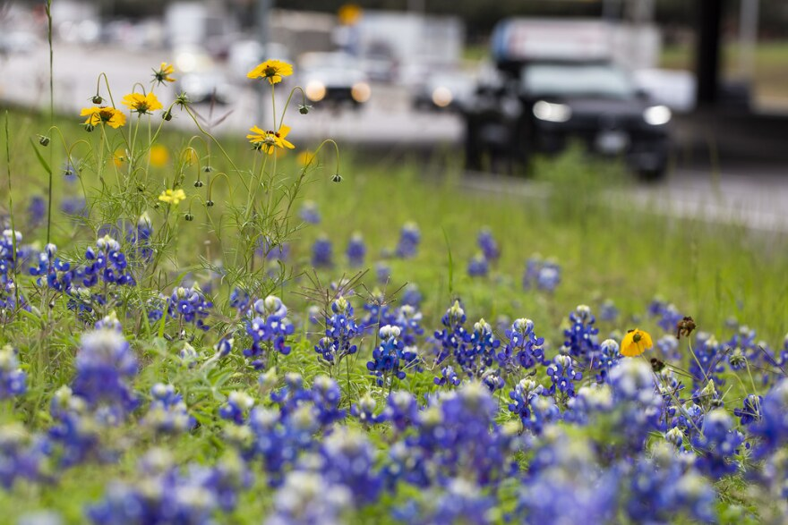 Bluebonnets and other wildflowers dot the landscape near I-35 earlier this month.