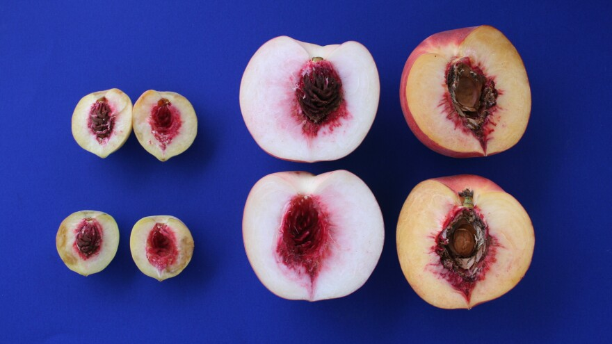 A species of peach related to the 7,500-year-old pits found in China recently (left), and today's more modern versions (right).