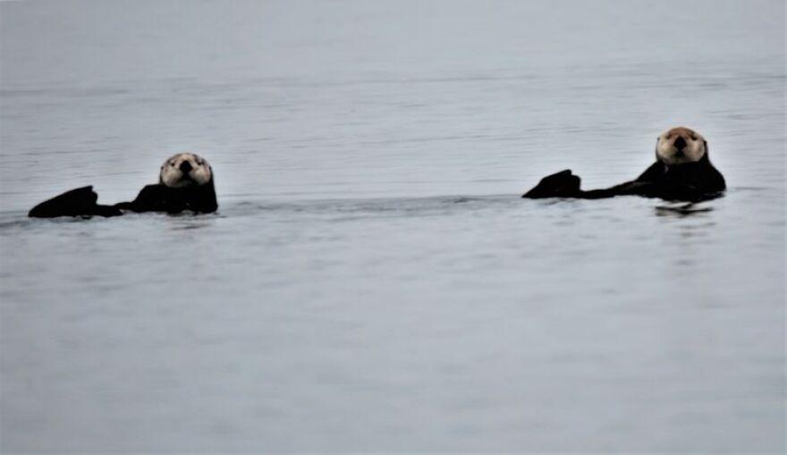 Sea Otters 4 Ian McCluskey OPB.jpg