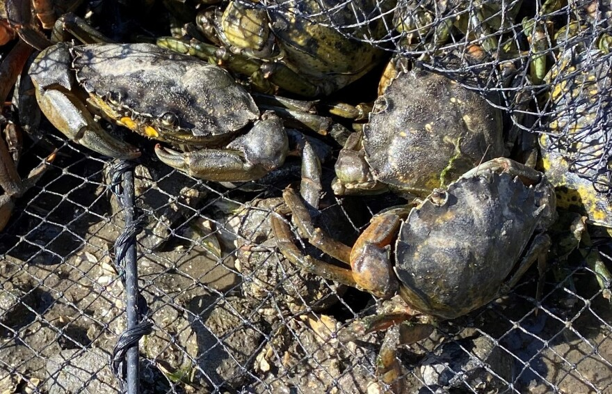 Green crabs in a trap in the Coos Bay estuary.