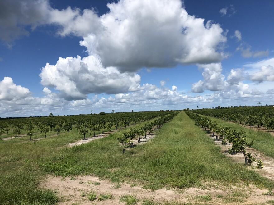 Citrus groves in DeSoto County.