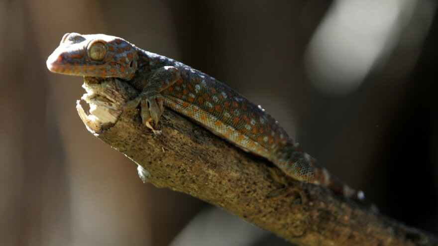 Tokay Geckos, like this one perched on a twig in suburban Quezon City, Philippines, are being hunted and killed to satisfy booming demand for them as an ingredient in alternative medicines.