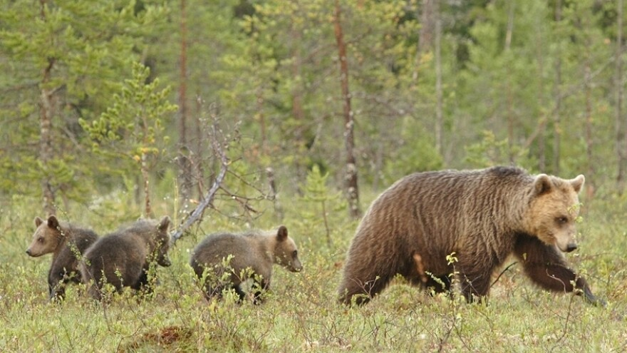 In many countries, family groups of mother bears with cubs are protected from hunters by law.