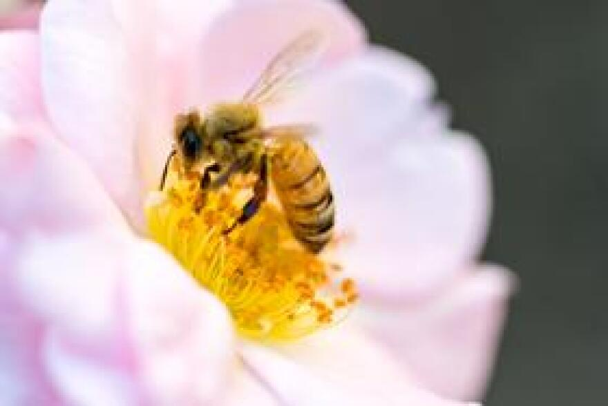 A bee pollinating a flower.