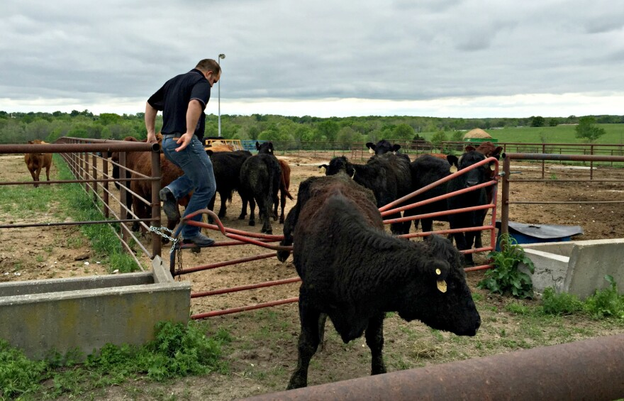 Cows often moo when they're stressed out, Decker says — it may be that they're caught in a fence or they're too hot.