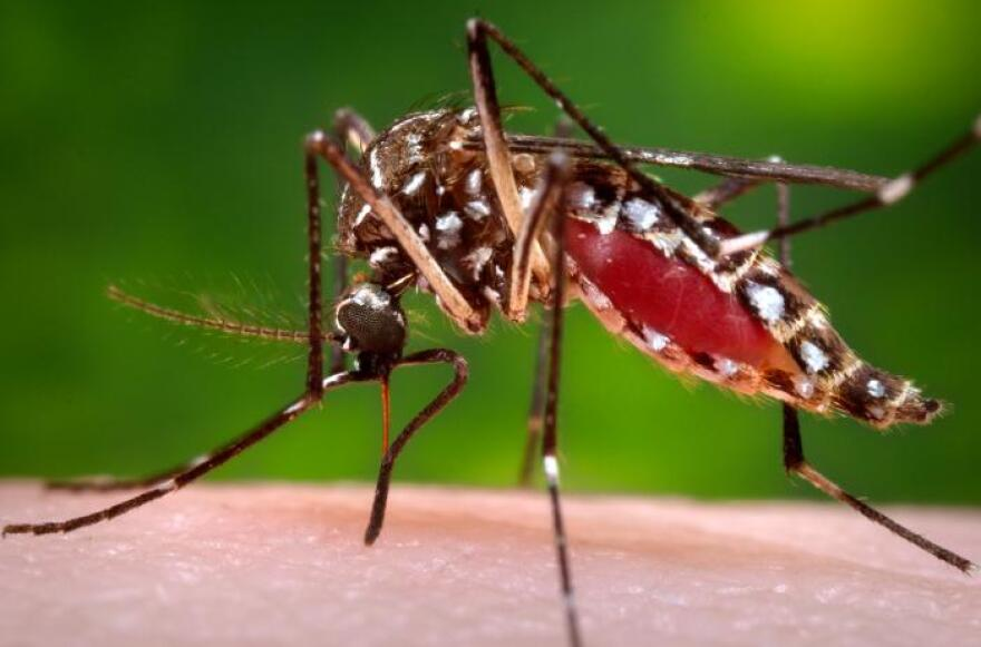 A female Aedes aegypti mosquito feasts on the blood of CDC photographer James Gathany. Aedes aegypti is the type of mosquito most likely to carry Zika and other tropical diseases.