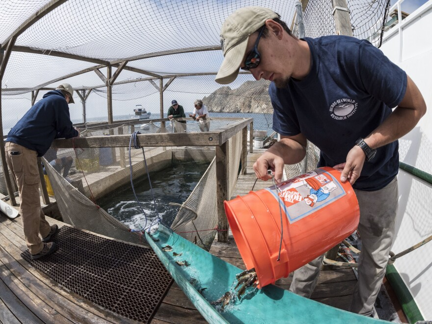 Staff at Hubbs-SeaWorld Research Institute sluice juvenile white seabass into a cage at Santa Catalina Island, in Southern California, where they grow before being released into the ocean. Thirty-five years ago, the state launched the program to bolster waning white seabass numbers. Now the first scientific assessment of the program finds it had a stunningly low success rate.