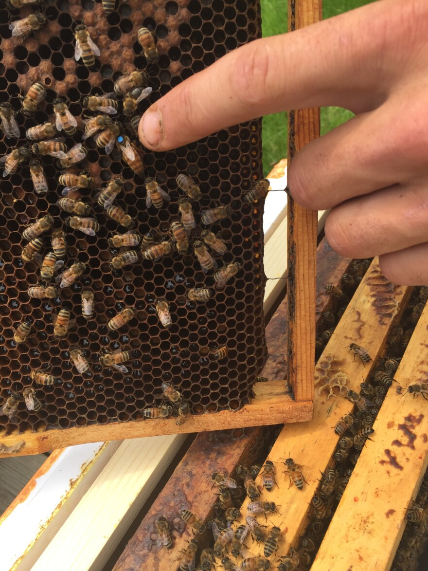 The queen bee in this hive has been marked with a blue dot—the color changes every year for beekeepers who are tracking the life spans of their queens.