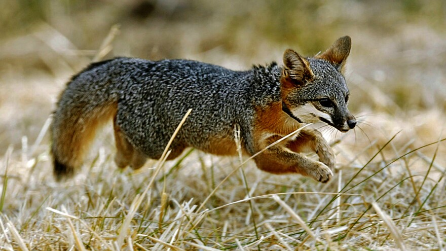 """A Santa Catalina Island fox pup dashes into the wilderness after being released on Santa Catalina Island off the coast of Southern California. The Catalina Island fox was one of the world's most endangered species, but it has been upgraded to """"threatened."""""""