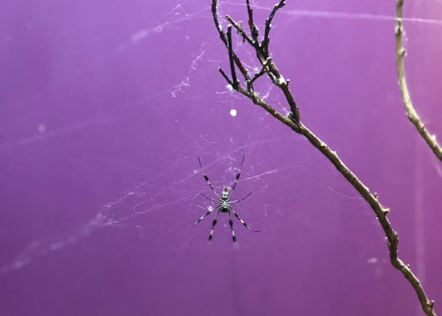 The Orb Weaver Spider sits in its web at the Museum of Life and Science in Durham.