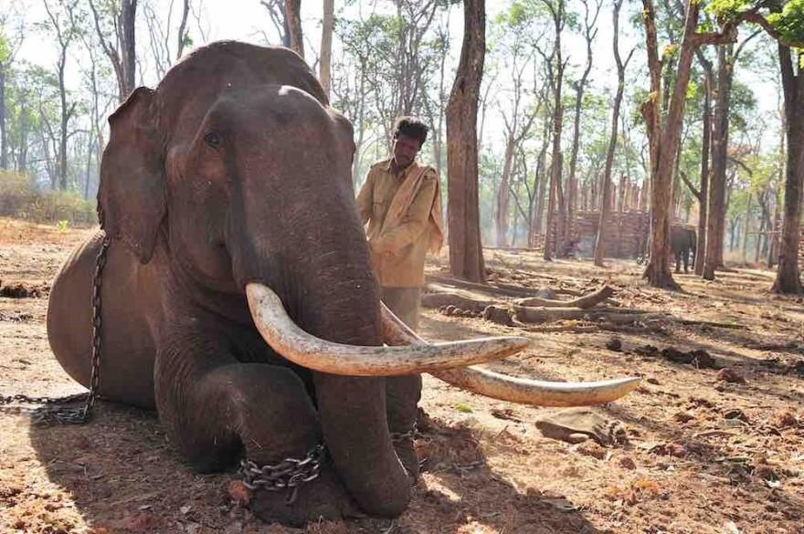 080817_cj_mahout_with_captive_elephant_elephants_in_the_coffee.jpg