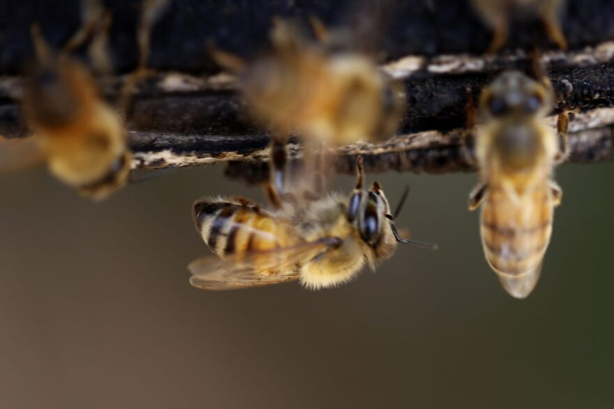 Bees during the honey harvest at a farm in Beit Lahia, Gaza Strip near the border with Israel, Friday, May 4, 2018. (Hatem Moussa/AP)