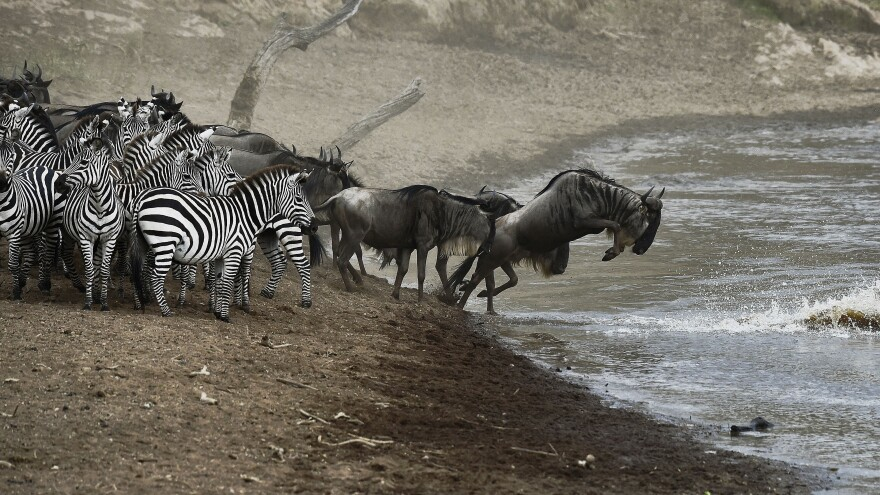 Wildebeests and zebras prepare to cross a river in Masai Mara earlier this month. A new project will stream live video of the animals' migration for the next week.