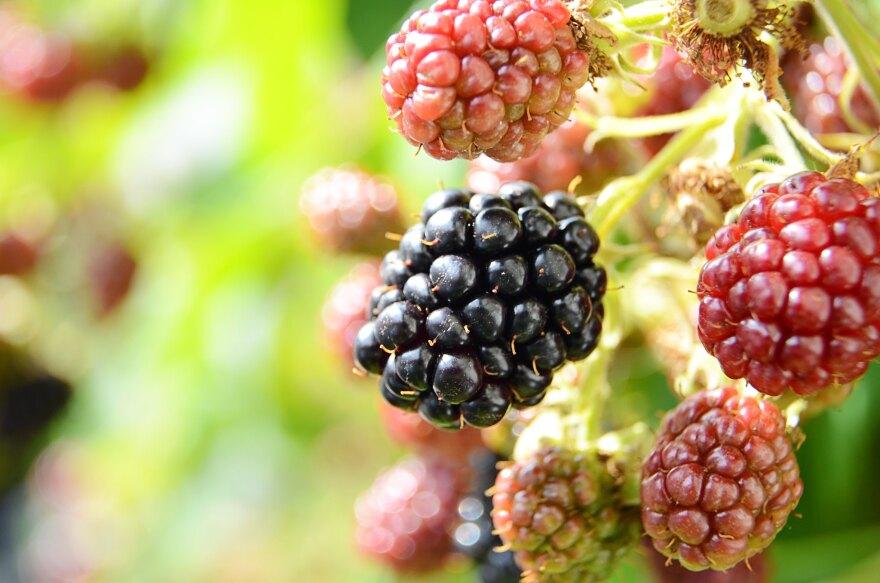 SummerBlackberry