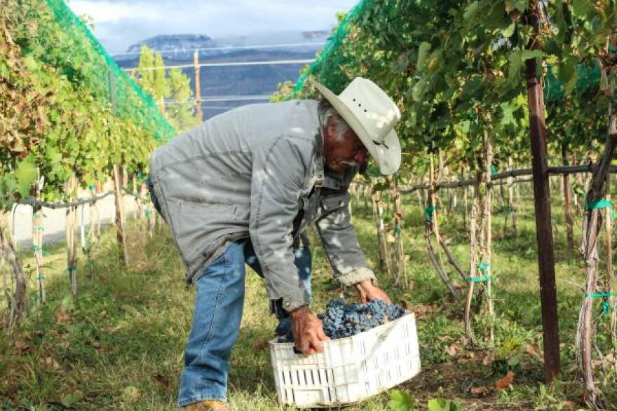 Evodio Macias lifts a crate of grapes. The majority of Talbott's H-2A workers are in their late 20s and early 30s. All are men and most have families back in Mexico.